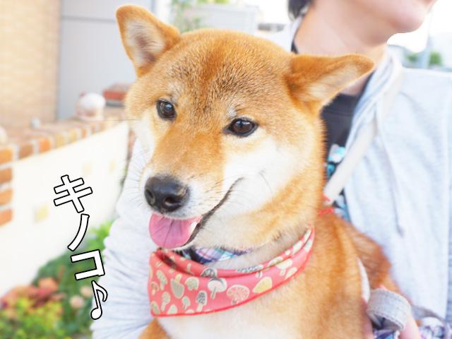 柴犬コマリ バンダナ