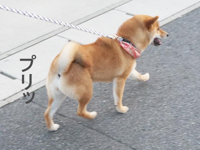柴犬コマリ 桃尻