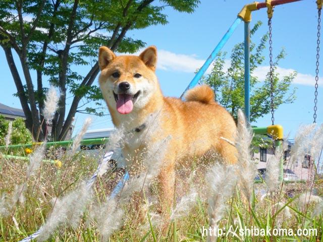 柴犬コマリ チガヤ