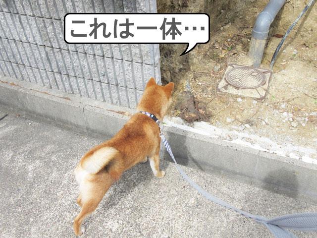 柴犬コマリ 臆病