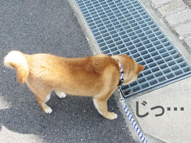 柴犬コマリ 怖い