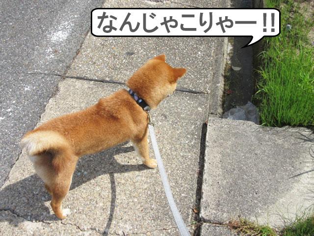 柴犬コマリ 怖がり
