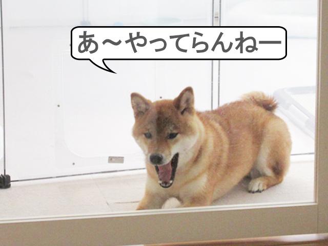 柴犬コマリ やさぐれ