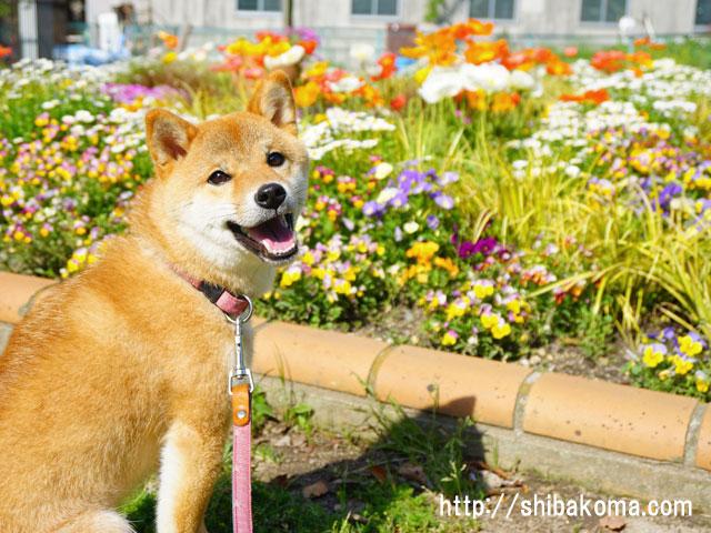 柴犬コマリ 春の花