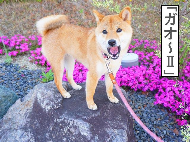 柴犬コマリ 芝桜