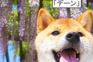 柴犬コマリ 藤棚