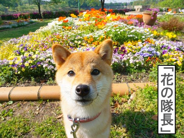 柴犬コマリ 花壇