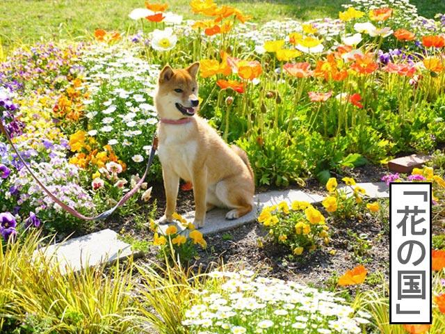 柴犬コマリ 花の国