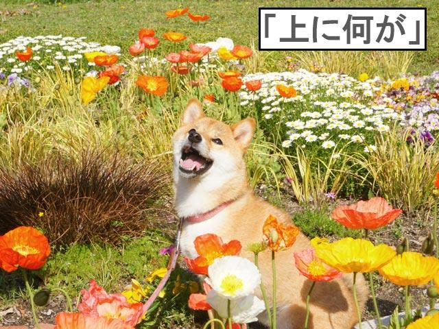柴犬コマリ ポピー