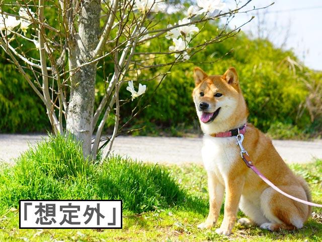 柴犬コマリ モクレン