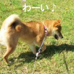 柴犬コマリ ロングリード