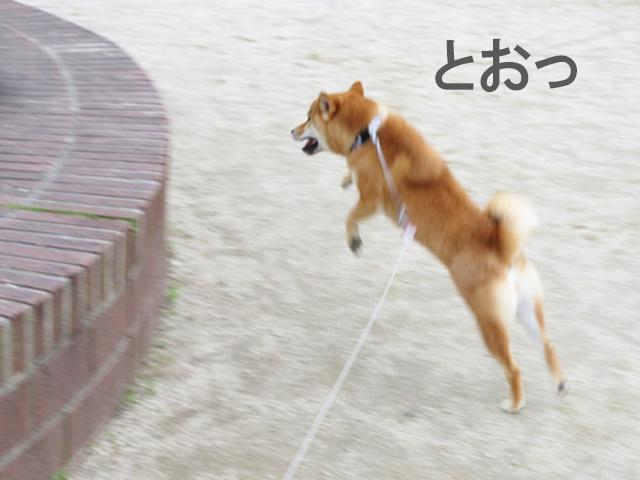 柴犬コマリ ジャンプ