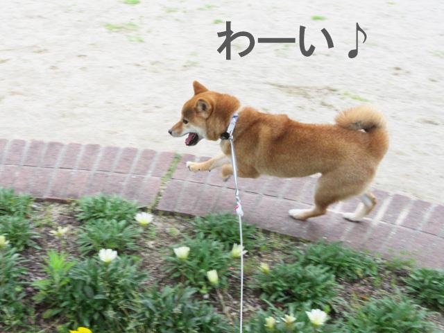 柴犬コマリ ダッシュ