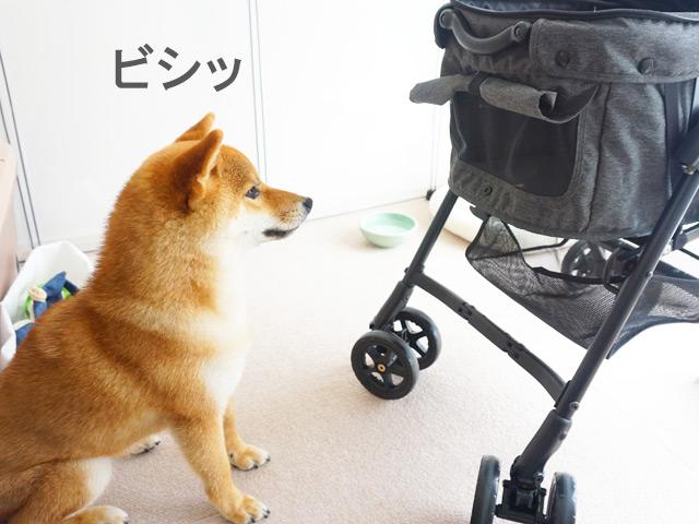 柴犬コマリ 犬カート