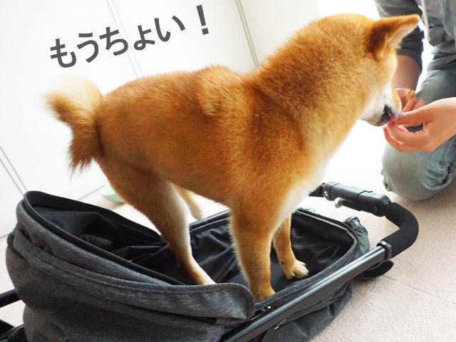 柴犬コマリ 犬用バギー