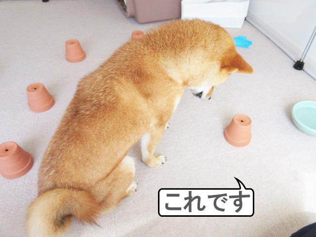 柴犬コマリ ノーズワーク