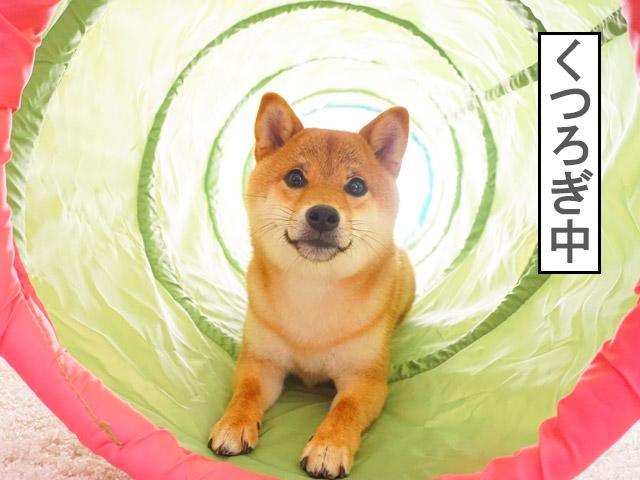 柴犬コマリ トンネル