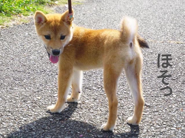 柴犬コマリ フード