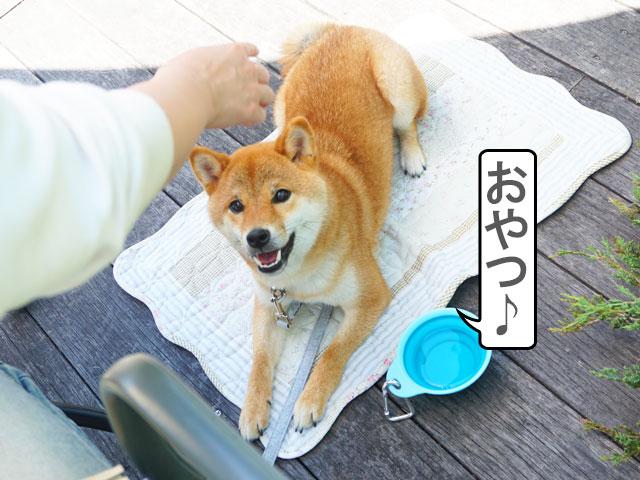 柴犬コマリ niwa cafe 犬