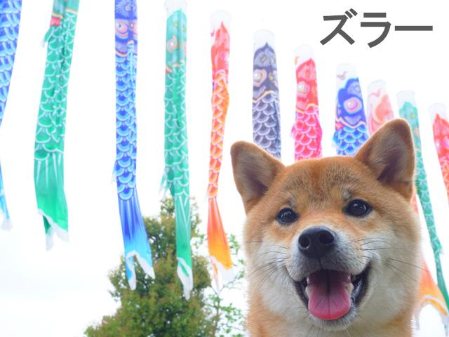 柴犬コマリ 名古屋 鯉のぼり