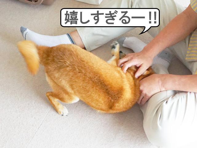 柴犬コマリ ダイブ