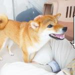 柴犬コマリ 好き