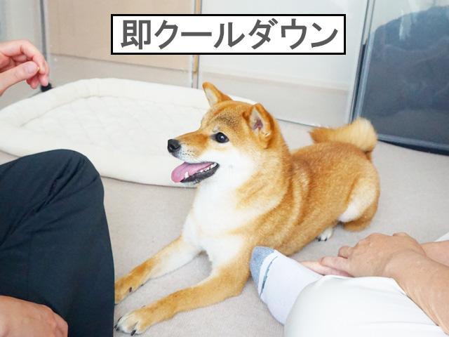 柴犬コマリ フセ