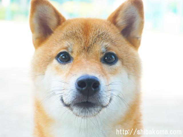 柴犬コマリ 柴犬