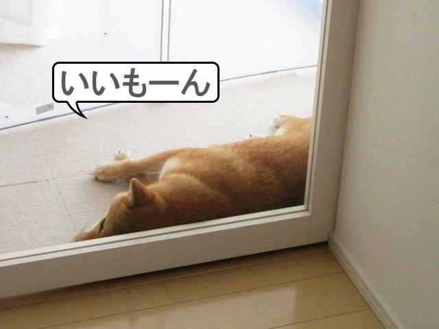 柴犬コマリ フテ寝