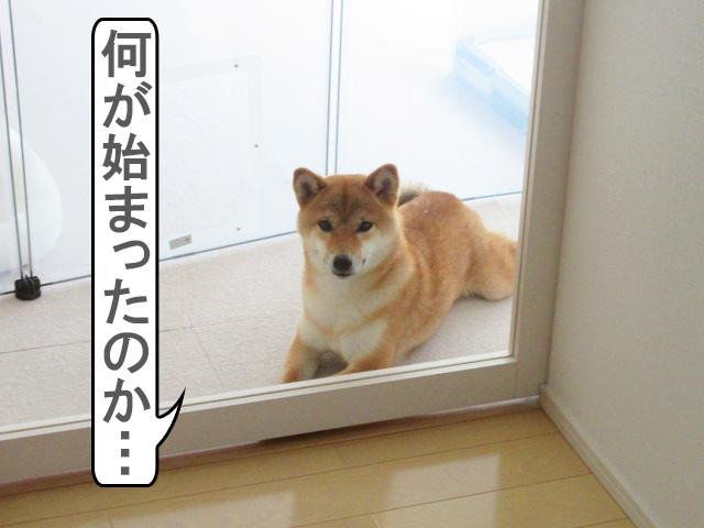 柴犬コマリ ビリーズブートキャンプ