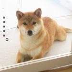 柴犬コマリ 驚愕