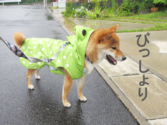 柴犬コマリ レインコート