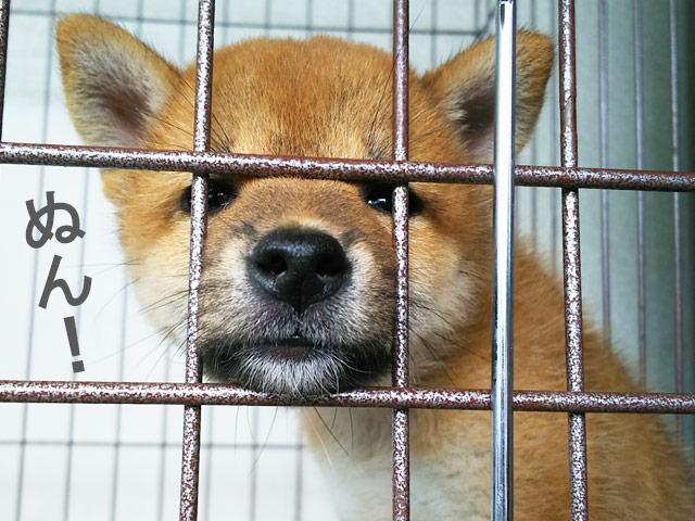 柴犬コマリ 誕生日