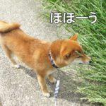 柴犬コマリ 匂いソムリエ