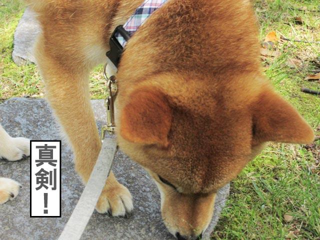 柴犬コマリ 臭い嗅ぎ