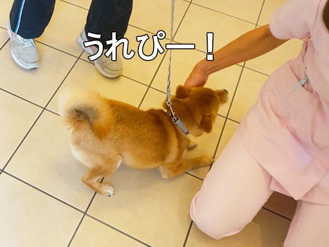 柴犬コマリ 動物病院シャンプー