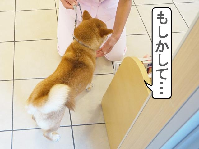 柴犬コマリ お店シャンプー
