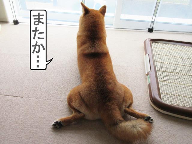 柴犬コマリ 後ろ姿