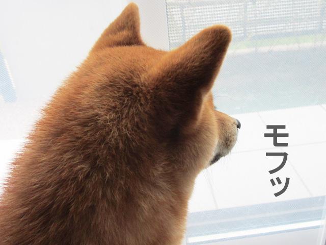 柴犬コマリ ほっぺ