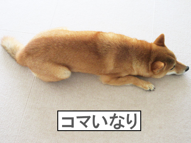 柴犬コマリ いなり寿司