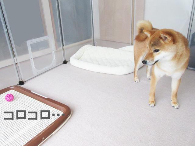 柴犬コマリ ボール