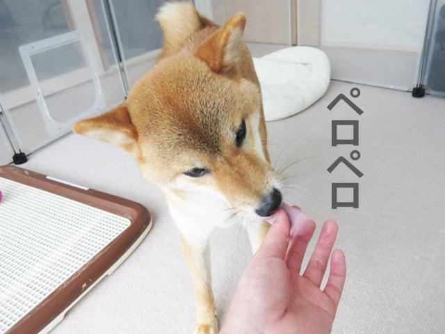 柴犬コマリ 水
