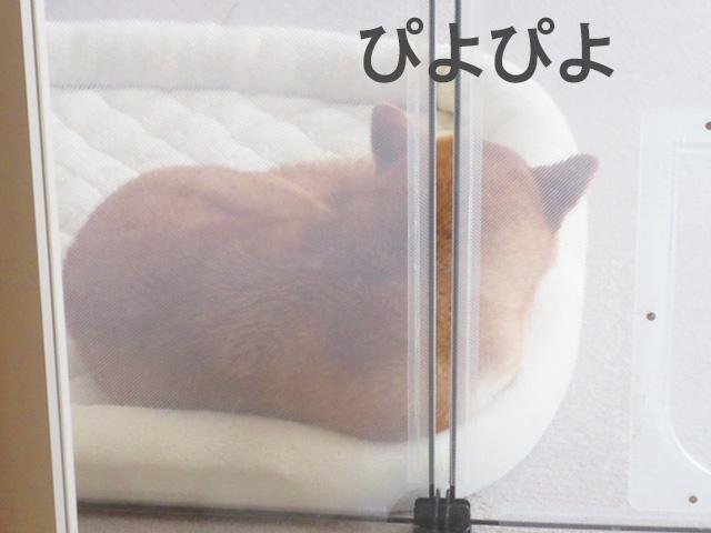 柴犬コマリ ひよこ饅頭