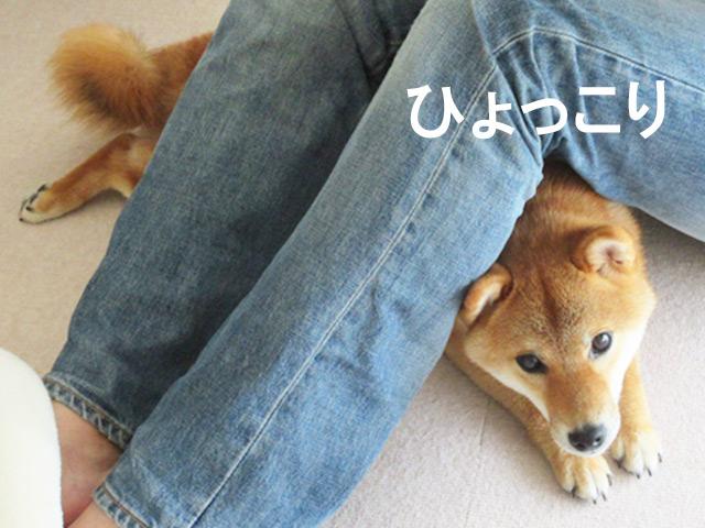 柴犬コマリ ひょっこりはん