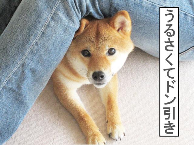 柴犬コマリ ドン引き