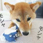 柴犬コマリ 噛む