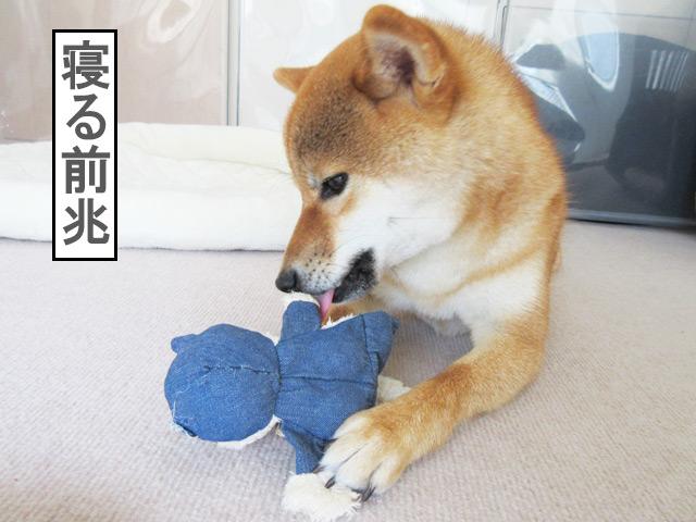 柴犬コマリ 眠い