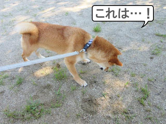 柴犬コマリ ダンゴムシ