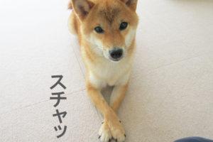 柴犬コマリ クロス