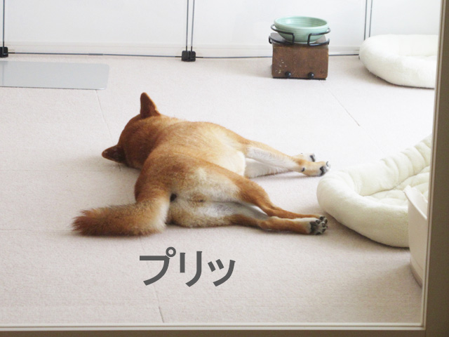 柴犬コマリ お尻
